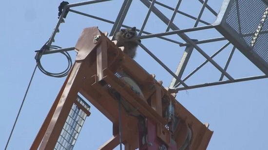 raccoon-scales-toronto-construction-crane